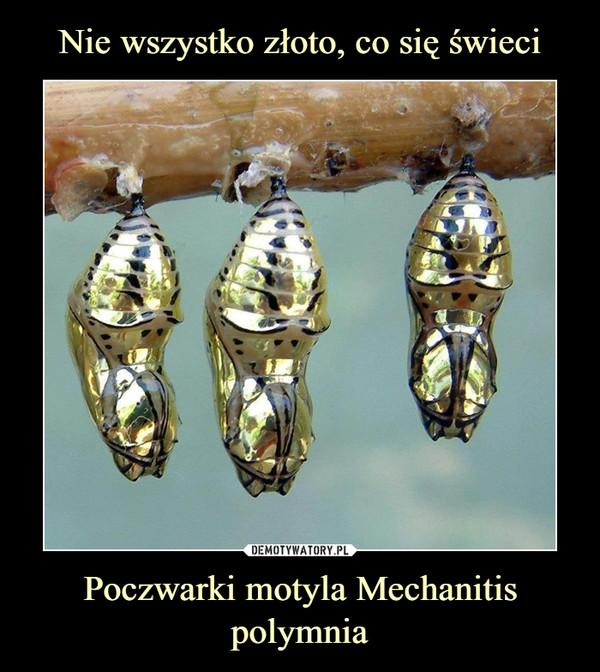 Poczwarki motyla Mechanitis polymnia –