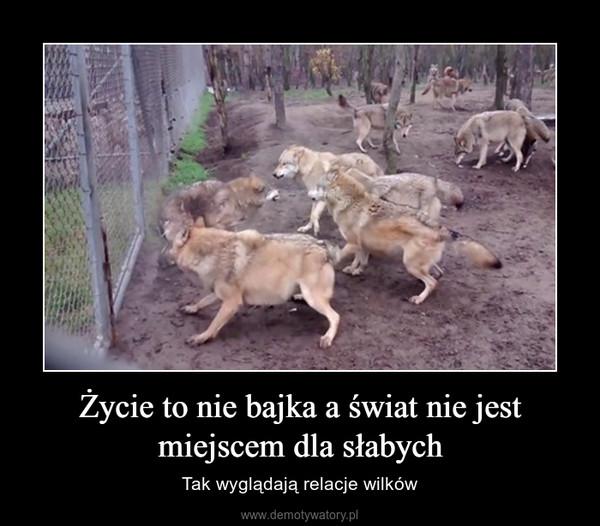 Życie to nie bajka a świat nie jest miejscem dla słabych – Tak wyglądają relacje wilków