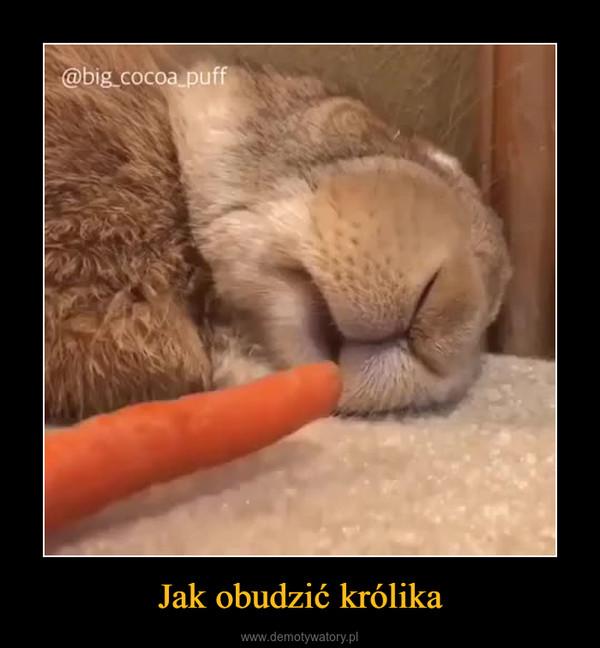 Jak obudzić królika –